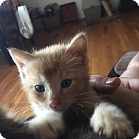 Domestic Shorthair Kitten for adoption in Tampa, Florida - Russ