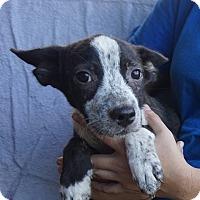 Adopt A Pet :: Shelly - Oviedo, FL