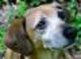 Beagle Mix Dog for adoption in Fairfax Station, Virginia - Skeeter