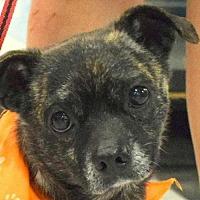 Adopt A Pet :: Braxton - Fairmont, WV