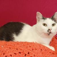 Domestic Shorthair/Domestic Shorthair Mix Cat for adoption in Bristol, Indiana - Charlie