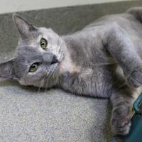 Domestic Shorthair/Domestic Shorthair Mix Cat for adoption in Lynchburg, Virginia - Gurira