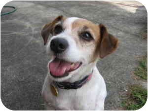 Jack Russell Terrier Dog for adoption in Thomasville, North Carolina - Katy