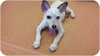 Terrier (Unknown Type, Small)/Blue Heeler Mix Puppy for adoption in Coppell, Texas - Eve