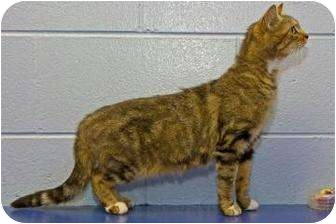 Domestic Shorthair Cat for adoption in Dayton, Ohio - Lucia