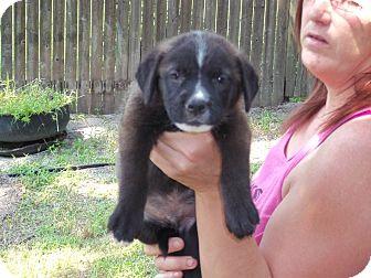 Labrador Retriever/Shepherd (Unknown Type) Mix Puppy for adoption in Browns Mills, New Jersey - Zues