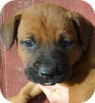 Boxer/Labrador Retriever Mix Puppy for adoption in East Hartford, Connecticut - bubba ADOPTION PENIDING