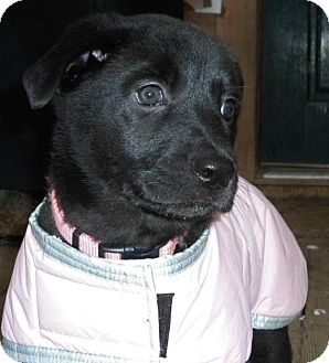 Labrador Retriever/Shepherd (Unknown Type) Mix Puppy for adoption in Long Beach, New York - Tiffany