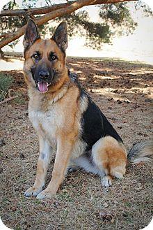 German Shepherd Dog Dog for adoption in Denver, Colorado - Kai