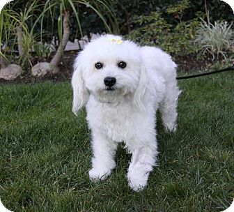 Poodle (Miniature)/Maltese Mix Dog for adoption in Newport Beach, California - FLORA