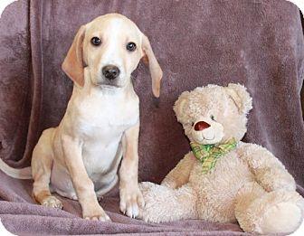 Hound (Unknown Type) Mix Puppy for adoption in Salem, New Hampshire - Reuben