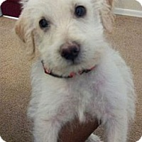 Adopt A Pet :: Scruffy - Chandler, AZ