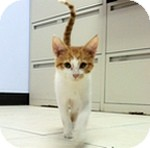 Domestic Shorthair Kitten for adoption in Wheaton, Illinois - Colby