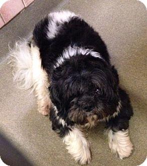 Shih Tzu Mix Dog for adoption in Boca Raton, Florida - Devon