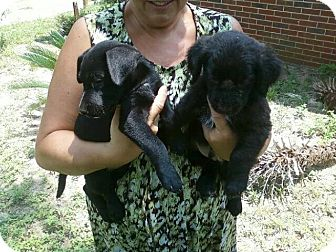 Labrador Retriever Mix Puppy for adoption in Palm Harbor, Florida - brother and sister