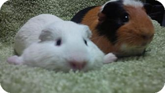 Guinea Pig for adoption in Fullerton, California - Toby and Max
