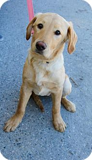 Labrador Retriever Mix Dog for adoption in New Oxford, Pennsylvania - Carrie