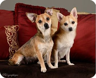 Chihuahua Mix Dog for adoption in Las Vegas, Nevada - Reesey