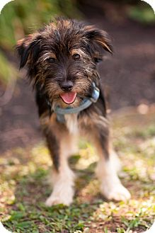 Dachshund/Spaniel (Unknown Type) Mix Puppy for adoption in Chalfont, Pennsylvania - Andy