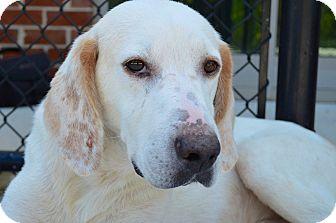 Hound (Unknown Type)/Labrador Retriever Mix Dog for adoption in Prince George, Virginia - Travis