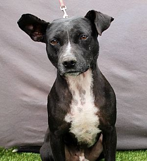 Pit Bull Terrier Mix Dog for adoption in Inglewood, California - Ozzie