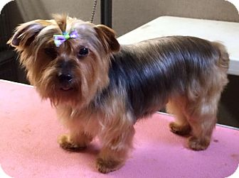 Yorkie, Yorkshire Terrier Dog for adoption in Clarion, Pennsylvania - ROSS