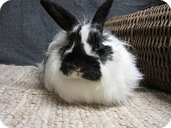 Jersey Wooly Mix for adoption in Newport, Delaware - Clarissa