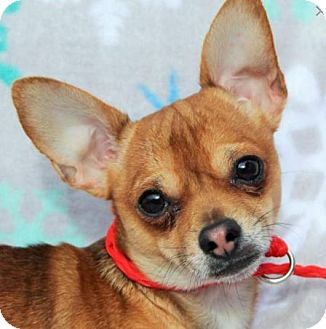 Chihuahua Mix Dog for adoption in Red Bluff, California - Jaxon-Neutered/Los cost fees