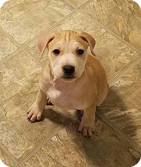 Boxer/Shar Pei Mix Puppy for adoption in Palatine, Illinois - Luke