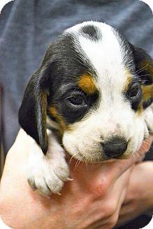Beagle/Basset Hound Mix Puppy for adoption in Lake Odessa, Michigan - Dorie
