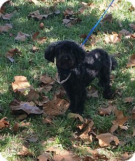 Poodle (Miniature) Dog for adoption in Houston, Texas - MAYBEL