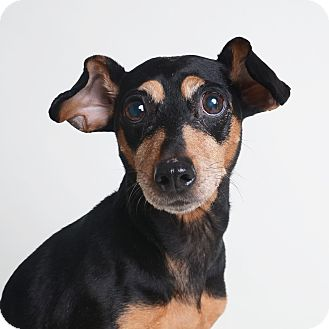 Miniature Pinscher/Terrier (Unknown Type, Small) Mix Dog for adoption in Wilmington, Delaware - Vanna