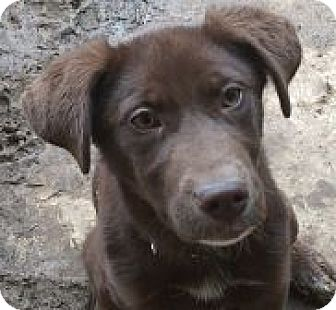 Labrador Retriever Mix Puppy for adoption in Evergreen, Colorado - Dora