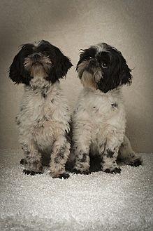 Shih Tzu Dog for adoption in Davie, Florida - Dot & Pretty