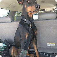 Doberman Pinscher Dog for adoption in Phelan, California - Buster