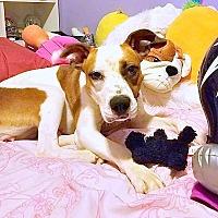Adopt A Pet :: Honey - Indianapolis, IN
