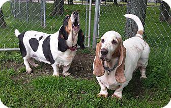 Basset Hound Dog for adoption in New Kensington, Pennsylvania - Charlie