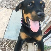 Adopt A Pet :: Electra - Gilbert, AZ