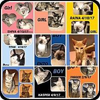 Adopt A Pet :: LOTS OF KITTENS! - Malvern, AR