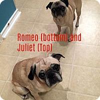Adopt A Pet :: Juliet - Grapevine, TX