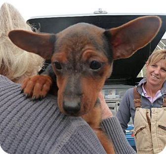 Chihuahua Mix Puppy for adoption in Ashland, Virginia - ReecesCup-ADOPTED!!!