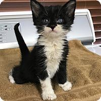 Domestic Shorthair Kitten for adoption in Chino Valley, Arizona - Dru