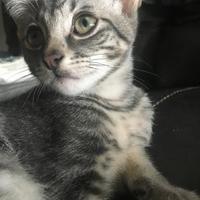 Adopt A Pet :: Gauze - McKinney, TX