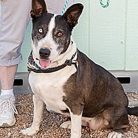 Adopt A Pet :: Rhianna - Courtesy Listing - Westminster, CO