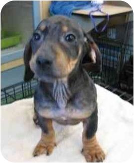 Dachshund Mix Puppy for adoption in Sugar Land, Texas - New Puppies