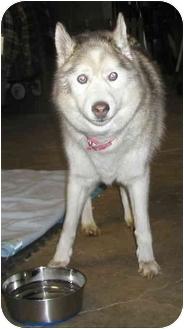 Husky Dog for adoption in Homer, New York - Sapphire