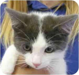 Domestic Shorthair Kitten for adoption in San Clemente, California - KOOSHBALL