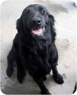 Retriever (Unknown Type) Mix Dog for adoption in Albany, Georgia - Midnight
