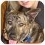 Photo 2 - German Shepherd Dog/Great Dane Mix Dog for adoption in Poway, California - Pal