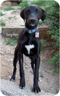 Labrador Retriever/Whippet Mix Puppy for adoption in Mandeville Canyon, California - Sophie